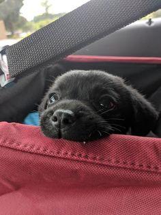 Black Lab Puppies, Cute Dogs And Puppies, Baby Puppies, Baby Dogs, Doggies, Corgi Puppies, Black Labs Dogs, Black Puppy, Samoyed Dogs