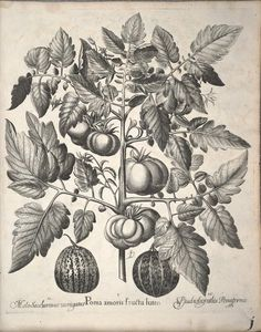 Hortus Eystettensis, sive, Diligens et accurata omnium plantarum, florum, stirpium : - Biodiversity Heritage Library