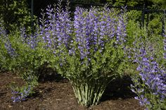 Category Imagine Blue Wild Indigo (Baptisia australis), but of the size, that's basically dwarf baptisia. A bit more tolerant of high heat/droughty conditions. See Baptisia ausralis for more details. Monrovia Plants, Herbaceous Perennials, Types Of Flowers, Purple Flowers, Wild Flowers, Missouri Botanical Garden, Botanical Gardens, Baptisia Australis