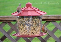 We set up a new feeder this afternoon and along came this Red House Finch!