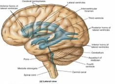 medulla+oblongata | medulla oblongata Cranial Anatomy, Anatomy And Physiology, Pineal Gland, Physician Assistant, Neuroscience, Recovery, Nursing, Psychology, Brain