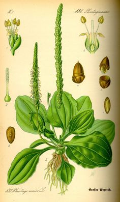 Grote weegbree - Plantago major subsp. major