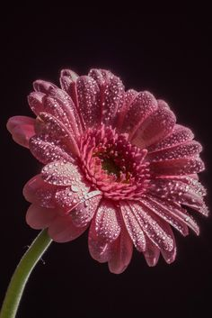 Photo A Galaxy of stars by Greg Kirkpatrick on Flowers Nature, Exotic Flowers, Amazing Flowers, Love Wallpaper, Nature Wallpaper, Gerbera Flower, Gerber Daisies, Beautiful Flowers Wallpapers, Flower Pictures