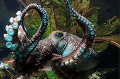 An octopus has made a brazen escape from the national aquarium in New Zealand by breaking out of its tank, slithering down a 50-metre drainpipe and disappearing into the sea.  In scenes remini…