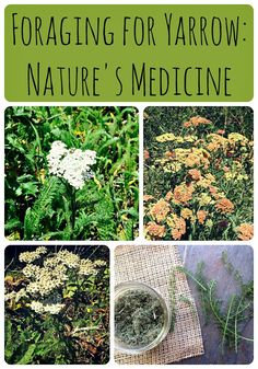 Yarrow is a wonderful healing herb that is easy to forage for.