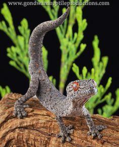 Eastern Spiny-tailed Gecko,  Strophurus williamsi