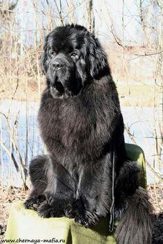 Rip Love, Newfoundland Dogs, Cane Corso, Chocolate Box, Yorkies, Big Dogs, Dog Photos, Dog Stuff, Crosses