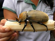 """Rhinoceros / Elephant Beetle sipping sugar out of this freshly cut piece of sugar cane. This is an adult male of about 6""""-7"""" long. By elizita, via Flickr"""