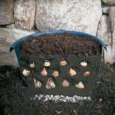 Plant in the FALL for SPRING blooms!  Sandwich Bulbs for Six Weeks of Blooms