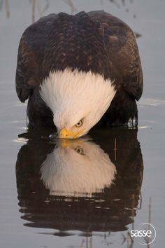 Eagle Morning Reflections - Feel Free to Share Comment: It took me a long time to get this image. The light, the position of the eagle's head, the eyes to be open, the beak immersed into the water and so on. Look carefully at the reflection on the right side and you can see feather details in the mirror image that are hidden from the direct view. Well here it is, I hope you enjoy it as much as I do.