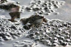 frogspawn World Wetlands Day, Spawn, Wildlife, Rings For Men, Nature, Blog, Drawings, Men Rings, Naturaleza