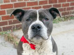 SAFE --- Brooklyn Center  DABBLE - A1019730  MALE, GRAY / WHITE, STAFFORDSHIRE MIX, 1 yr STRAY - STRAY WAIT, NO HOLD Reason STRAY  Intake condition UNSPECIFIE Intake Date 11/05/2014, From NY 11414, DueOut Date 11/08/2014, https://www.facebook.com/photo.php?fbid=901739429838937