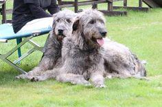 IRISH WOLFHOUND- very cool dogs!