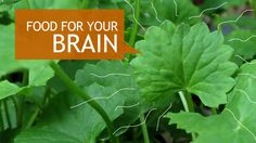 This herb is great for brain and cognition health.  It's one of the herbs used in Ayurveda medicine.  This video goes over the health benefits of this herb, and how to grow your own.