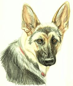 Draw a Dog in Colored Pencil: German Shepherd Dog Portrait - Drawing Hair and Fur