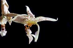 Stanhopea Oculata... | Flickr - Fotosharing!
