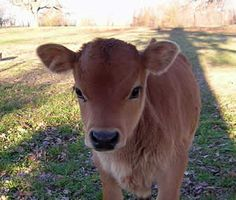 Miniature Jersey Cows - look at it! It's so cute! That's it, I'm going to live on a farm.