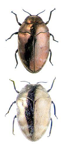 Trachys phlyctoenoides