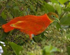 Ptilinopus victor - Cerca con Google