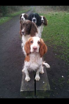 Springer Spaniels and a Spaniel friend Chien Springer, Springer Dog, English Springer Spaniel, Springer Spaniel Puppies, Beautiful Dogs, Animals Beautiful, Cute Animals, Spaniel Breeds, Dog Breeds