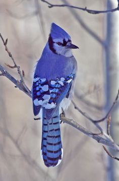 """The Winter Blues"" ~ Blue jay, Elk Island National Park, Canada   Denis Mark.on TrekNature"