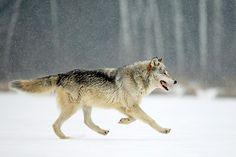 Gray wolf running More