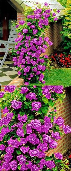 Climbing roses are extremely versatile and can be used to cover exterior parts of the house, arches, trellis, poles and fences. Their long stems bear trusses of beautiful flowers providing masses of...