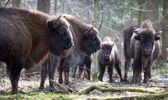 Bison in Poland's Bialowieza Forest