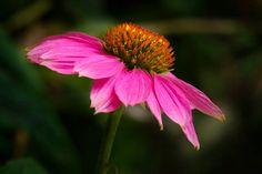 Cone Flower Print By Donald Erickson Blooming Flowers, Flower Prints, Fine Art Photography, Wall Art Decor, Office Decor, Art Prints, Paint Flowers, Plants, Pictures