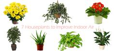 7 Houseplants to help you breathe fresh air - Improve indoor air quality with the help of nature. Bring in air filtering houseplants that are easy to grow & care. Breathe fresh air in your home & office.