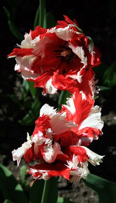 Red and White Parrot Tulips with Showy stripes on Black Background Parrot Tulips, Tulips Flowers, Daffodils, Pretty Flowers, Spring Flowers, Planting Flowers, Roses, Unusual Flowers, Types Of Flowers