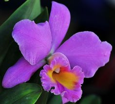 Purple cattleya orchids, I hope mine looks like this in the next 6 months! Exotic Plants, Exotic Flowers, Tropical Flowers, Amazing Flowers, Purple Flowers, Colorful Flowers, Beautiful Flowers, Orchid Flowers, Imagen Natural