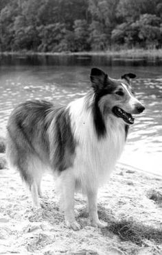 How+Lassie+Became+One+of+the+World's+Most+Popular+Dogs | CANIDAE® Blog