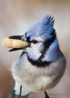 Blue Jay by Michaela Sagatova