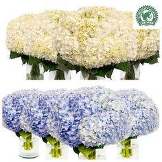 Assorted Hydrangeas - 30 Stems