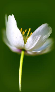 Hvitveis ~ Anemone nemorosa