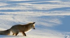 Fox hunting for mice under the snow - GIF on Imgur