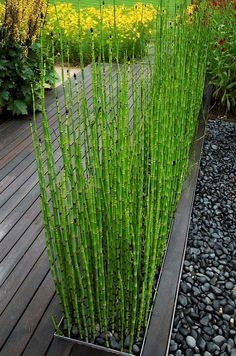 o a prehistoric age. A water loving plant that can actually grow in swampy soil, this plant loves sun but will tolerate some shade. Evergreen in mild climates. Great used in a modern or contemporary garden for it's structure and texture. Fast growing to 3-4 feet, it spreads underground and will spread indefinitely if not contained. Because of this, a great Horse tail
