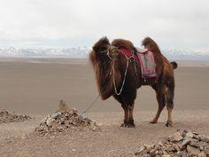 Bactrian Camel, Mongolia by jjangum: Greatcoat! #Camel