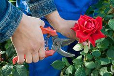 Veja dicas de como plantar rosas. (Foto: iStock)