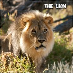 """The Lion:  The lion is the only member of the cat family with a tasseled tail, which serves a purpose beyond aesthetics. It's often used to signal to other members of the pride, with messages ranging from directional, """"this way"""" commands to flirtatious, """"come hither"""" invitations! #CoxandKings"""