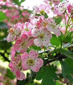 hawthorn flower | HAWTHORN FLOWER | Flickr - Photo Sharing!
