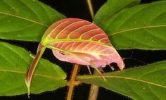Si no miras con atención, pasa desapercibido. Eso que parece una hoja en realidad es un saltamontes. Concretamente, el Eulophophyllum kirki, una nueva especi...