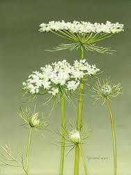 Image result for landscape photos of queen anne's lace