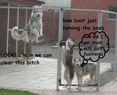 jumpin huskies