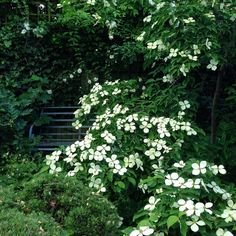 At the far end of the garden is an iron bench where I can sit, in the shade, and work. Dark enough that am able I work on my laptop, and sheltered enough to stop the wind blowing my page proofs about, the space feels secret, even though in reality it is anything but. Cornus Gloria Birkett is in flower right now, resembling white butterflies resting on a bush.