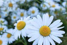 Bellis perennis is a common European species of daisy. Bright Flowers, Cut Flowers, Wild Flowers, Garden Beds, Garden Plants, Shasta Daisies, Bellis Perennis, Wholesale Nursery