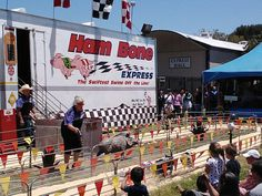 Racing Pigs at the 2013 San Mateo County Fair - Yes, pigs are performers!