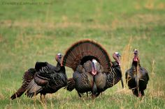 Eastern Wild Turkey - March 2006.  Seen in my front yard. (I did not take this photo)