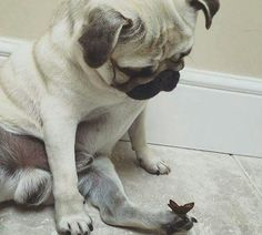 He made a new friend! A pug curiously looks at a butterfly that landed on its foot.